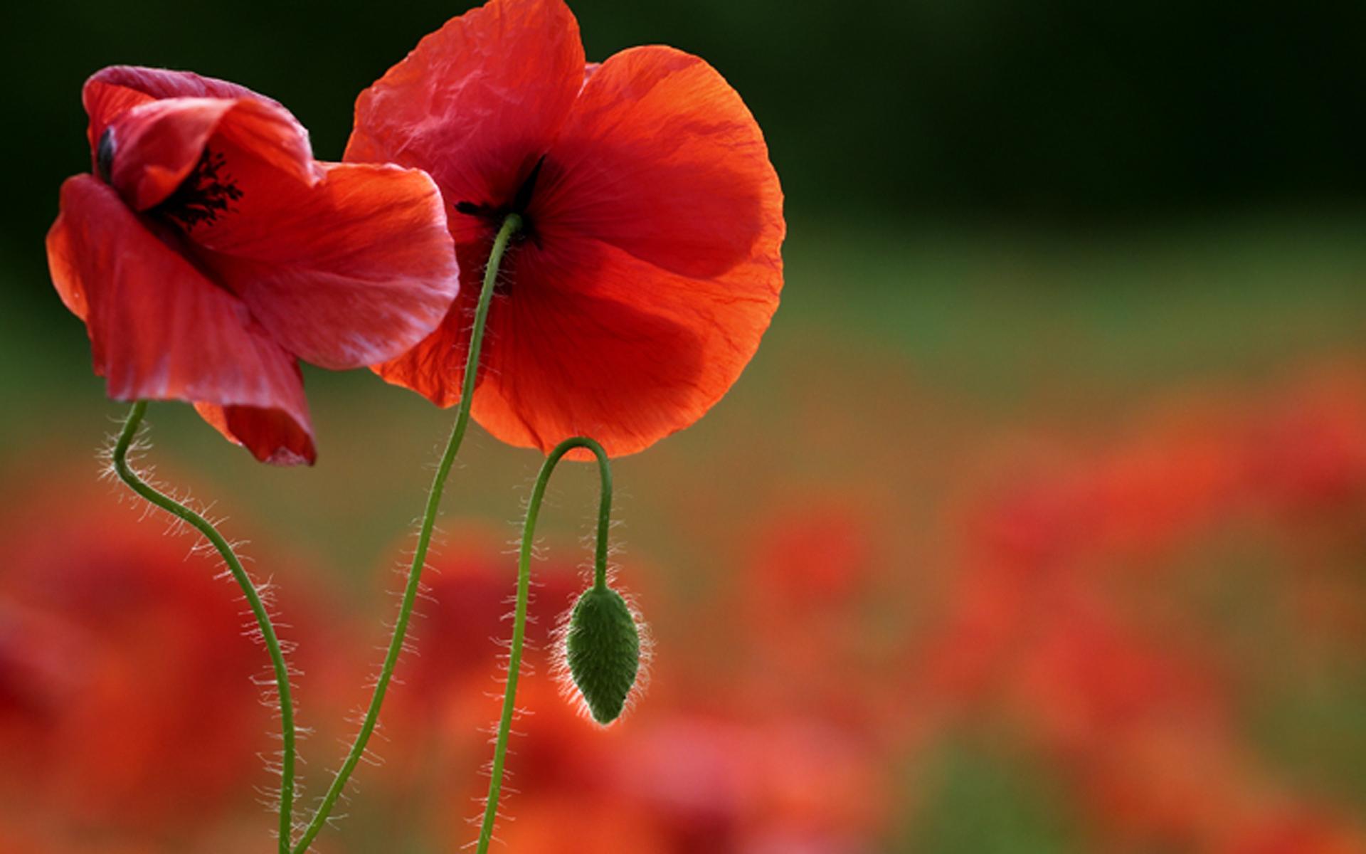 گل شقایق11